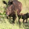 Rhino Inonge Baby
